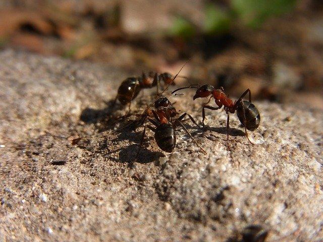 fourmi-rouge